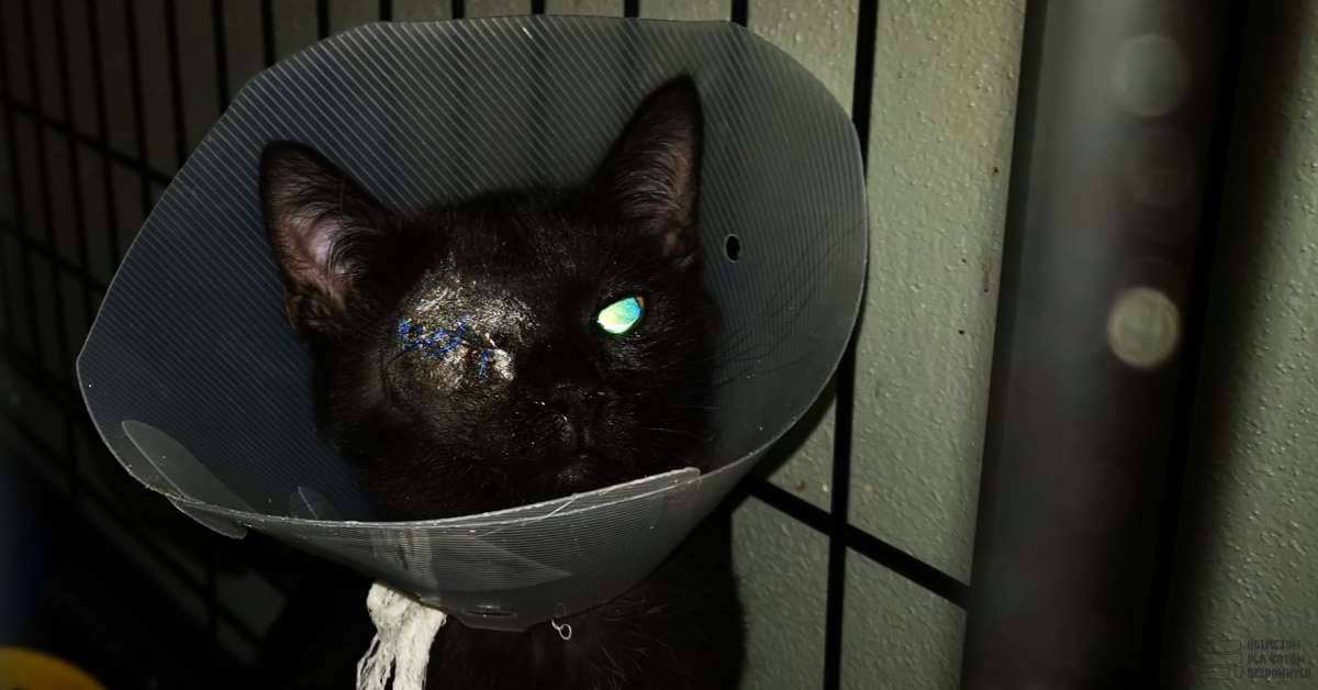 Czarny kot Benito z usuniętą gałką oczną na skutek opryszczkowego zapalenia oka.